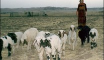 Woman herding sheep