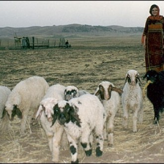 Woman herding sheep