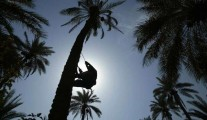 Palm trees in Iraq