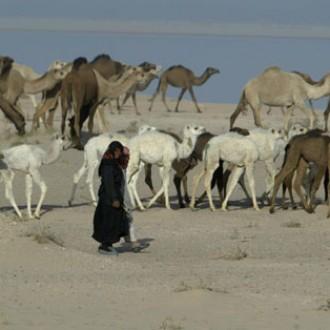 Samawah camels
