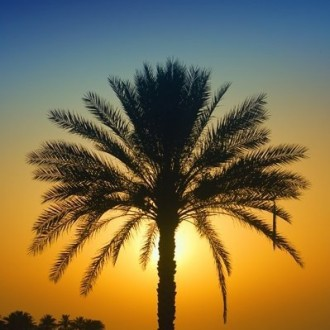palm from iraq