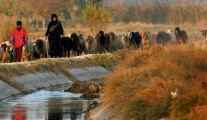 Iraqi woman herding sheep