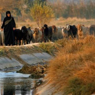 Iraqi woman herding sheep